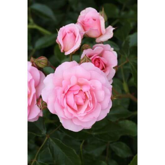 Happy Retirement (Tantoras) Bush Rose- Wharton's Roses