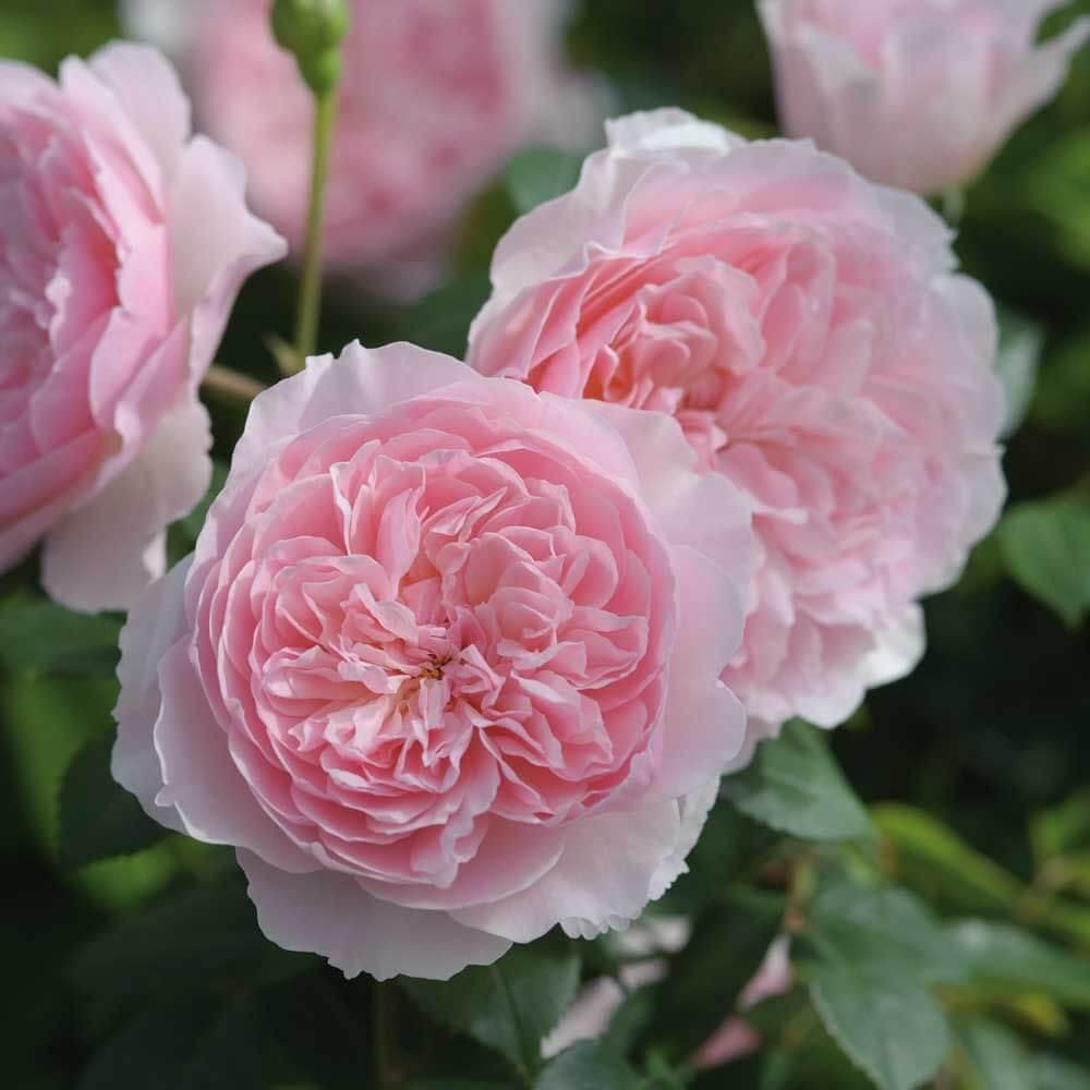 wisley 2008 david austin roses garden store online. Black Bedroom Furniture Sets. Home Design Ideas