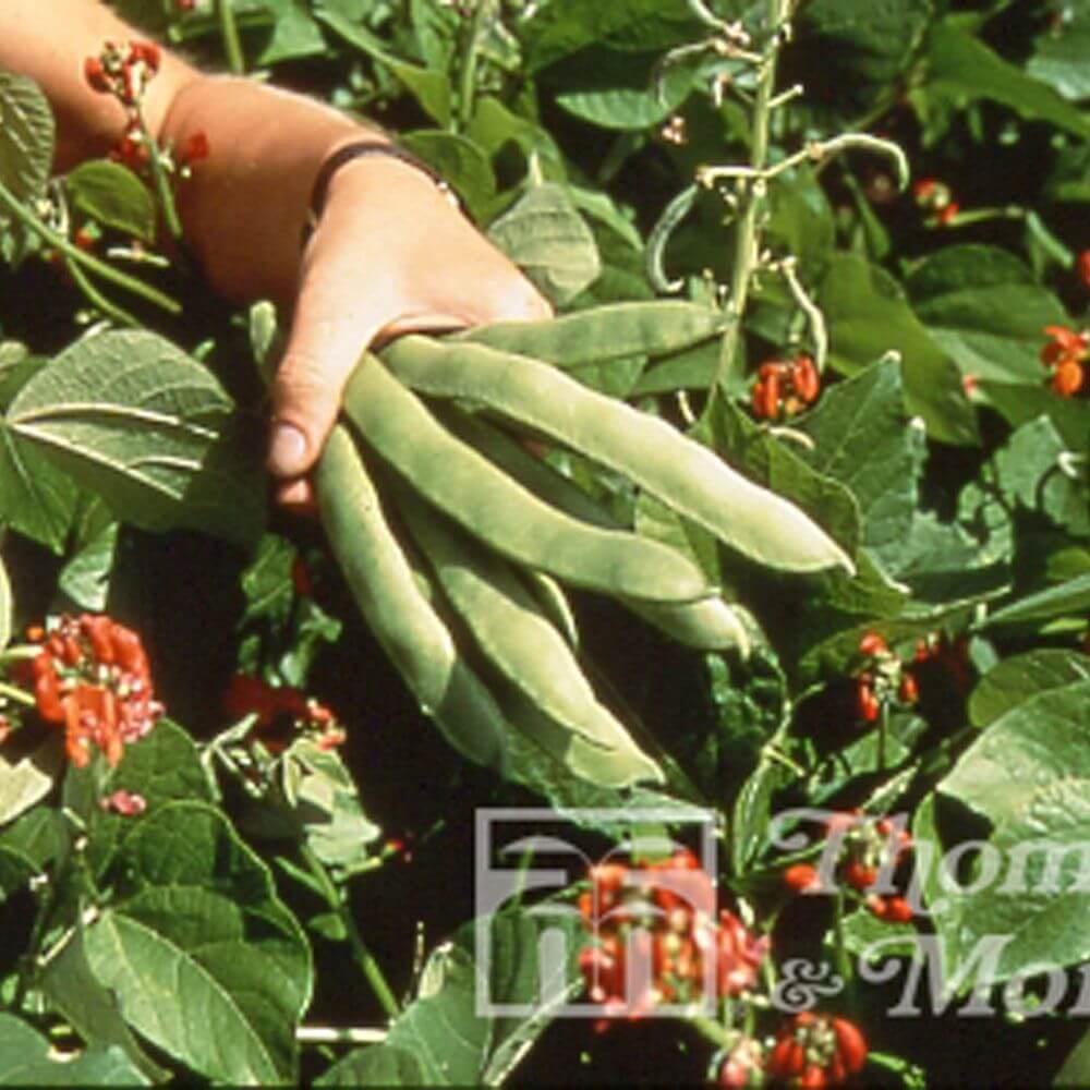 dwarf runner bean pickwick tm veg seeds garden store online. Black Bedroom Furniture Sets. Home Design Ideas