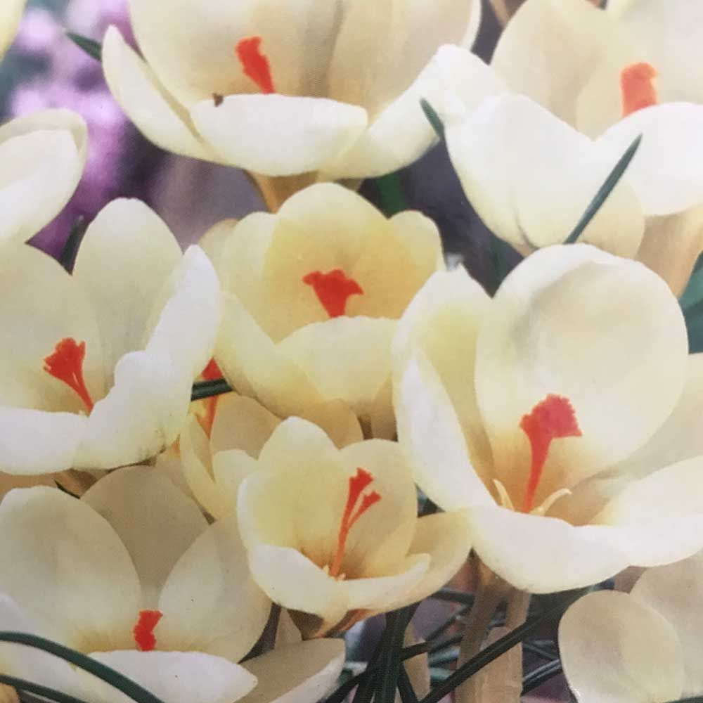 Taylors Crocus Cream Beauty
