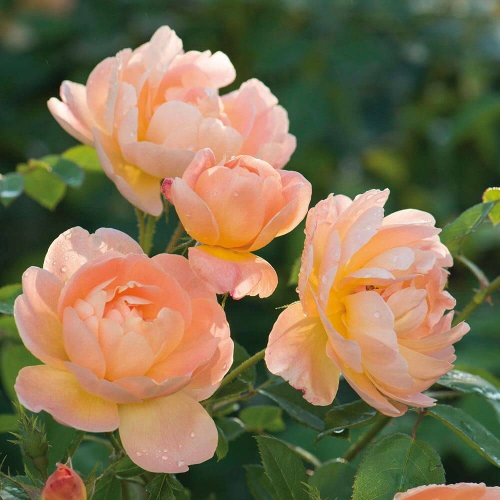 the lark ascending david austin roses garden store online. Black Bedroom Furniture Sets. Home Design Ideas