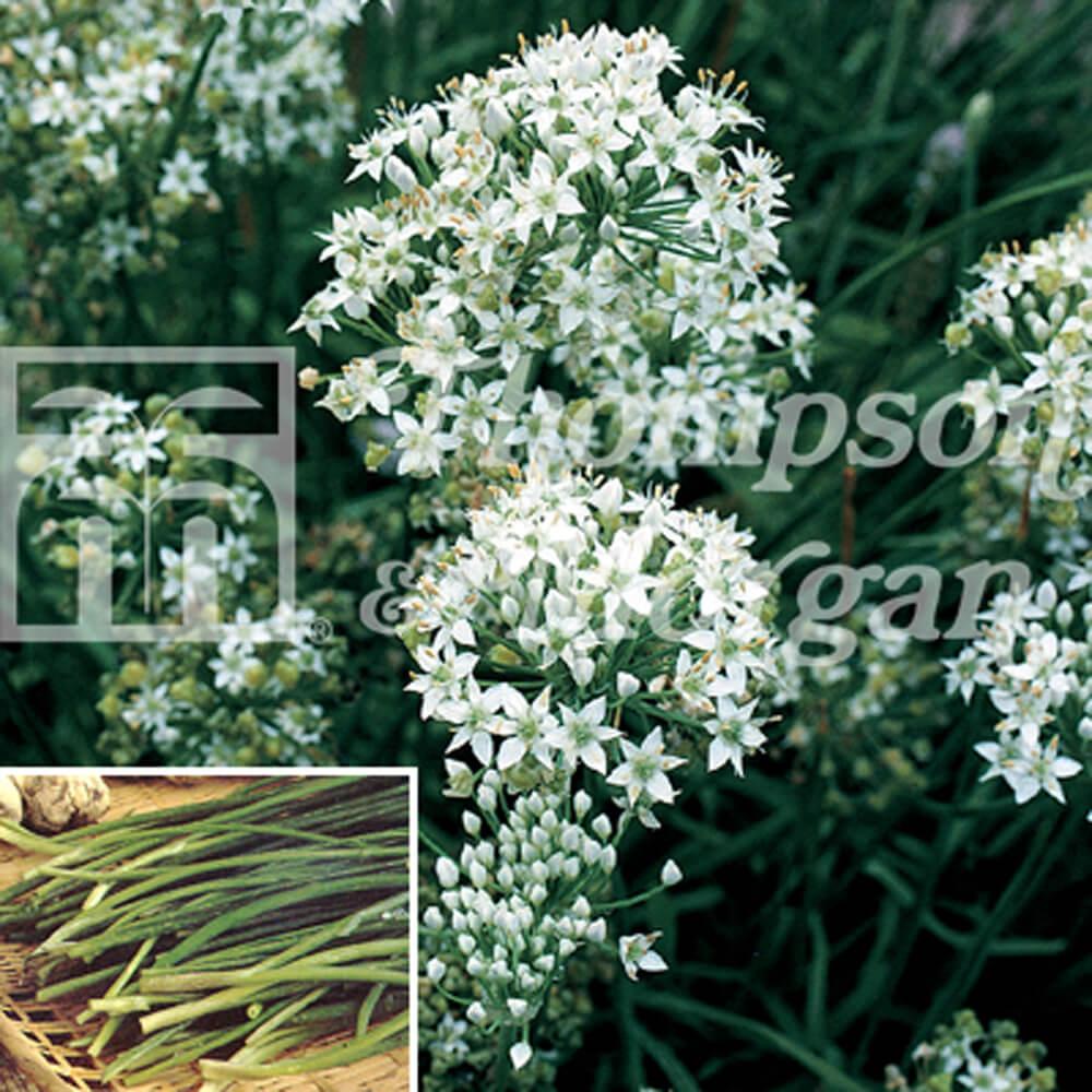 Herb Seeds Garlic Chives Garden Store Online